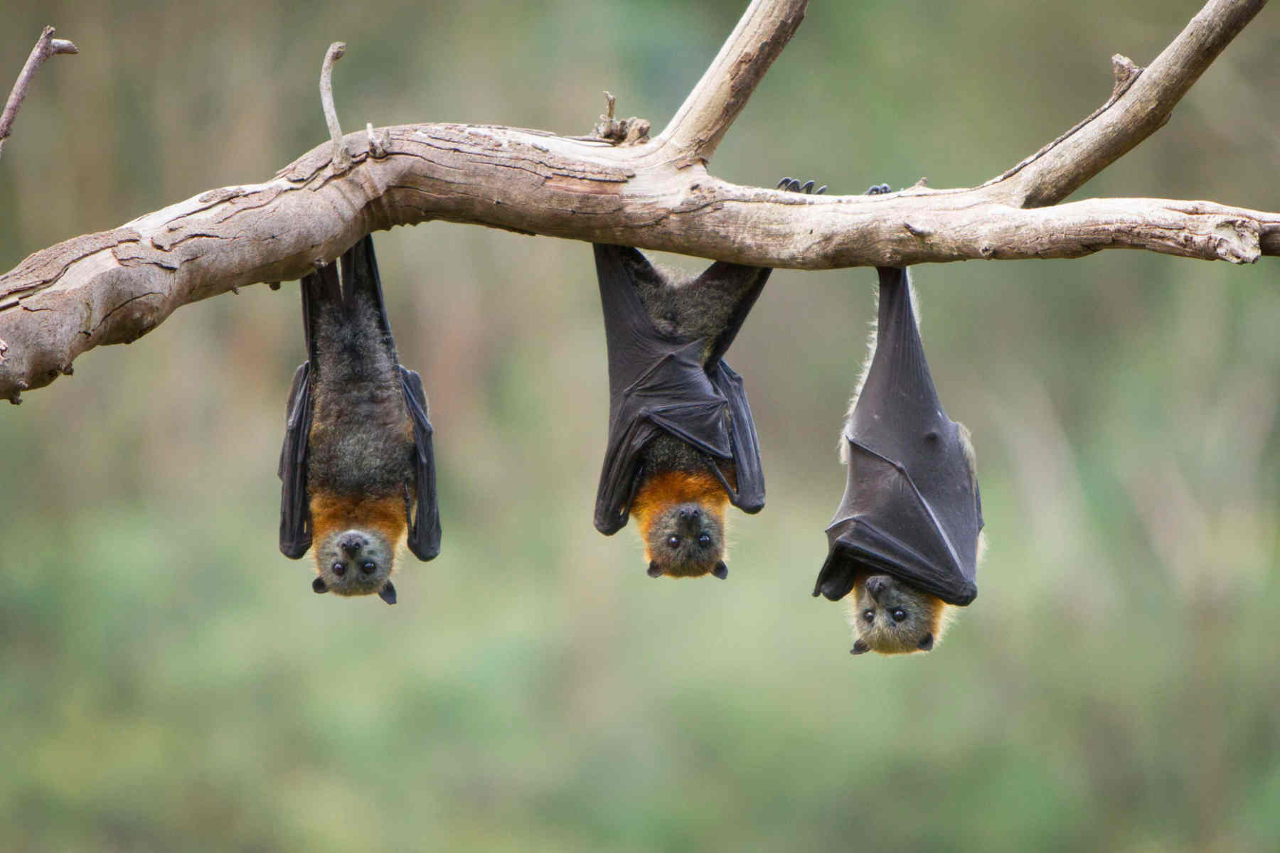 Bats Wallpapers High Quality | Download Free