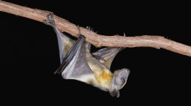 Bats Desktop Wallpaper For PC