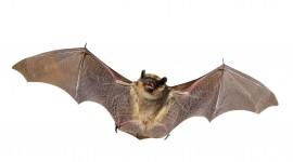 Bats Wallpaper 1080p
