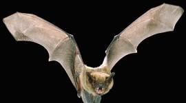 Bats Wallpaper For PC