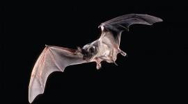 Bats Wallpaper Free#1
