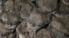 Bats Wallpaper Free#2