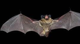 Bats Wallpaper Full HD