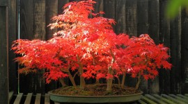 Bonsai Wallpaper Download Free