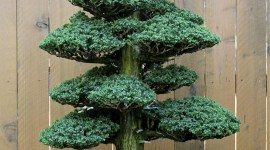 Bonsai Wallpaper For IPhone Free