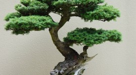 Bonsai Wallpaper For Mobile