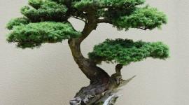 Bonsai Wallpaper For Mobile