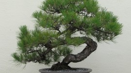 Bonsai Wallpaper For PC