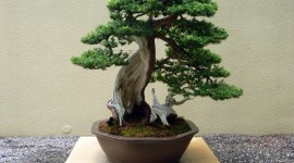 Bonsai Wallpaper Free