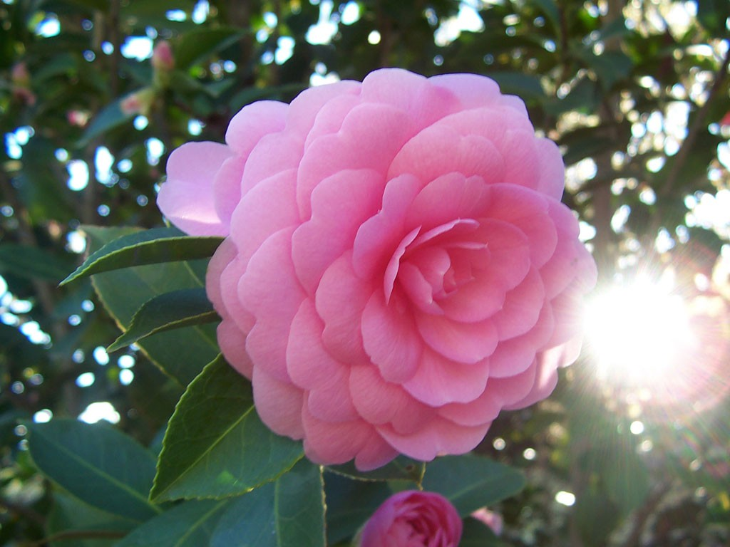 Camellia Japonica wallpapers HD