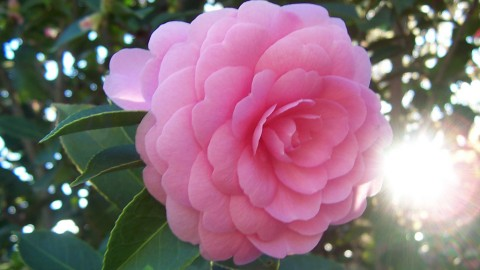 Camellia Japonica wallpapers high quality