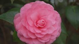 Camellia Japonica Desktop Wallpaper HD