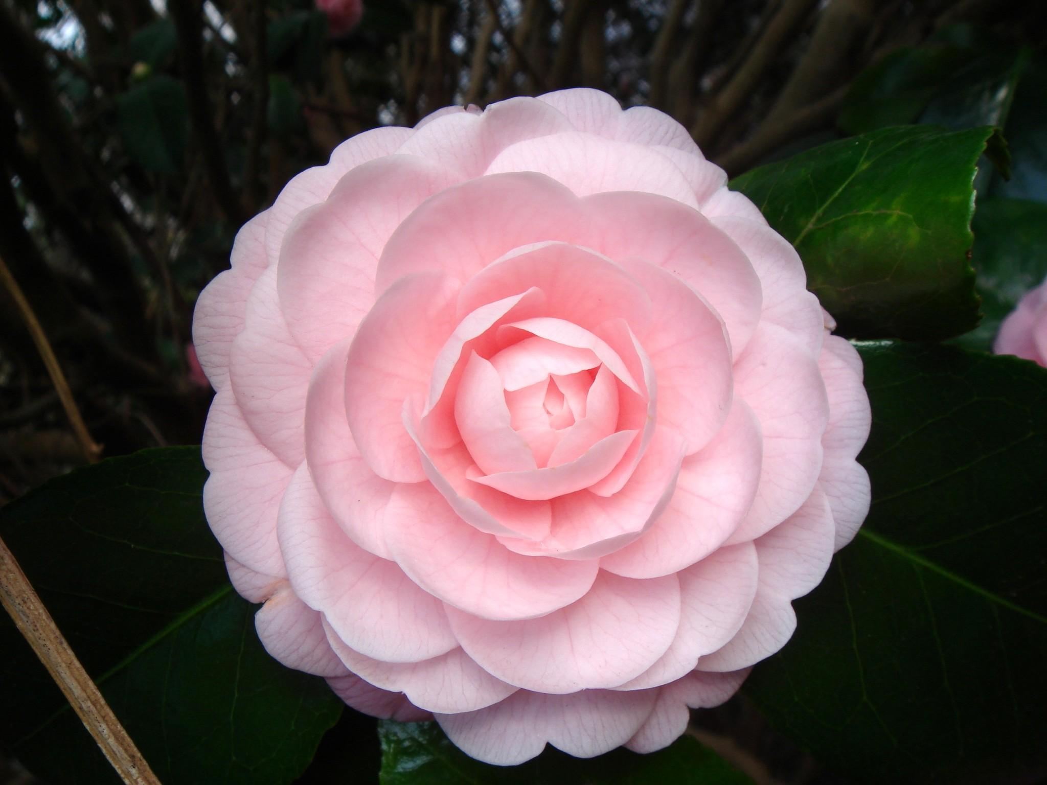 Цветы фото розы камелия