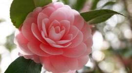 Camellia Japonica Pics