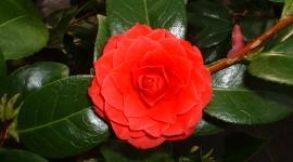 Camellia Japonica Wallpaper 1080p