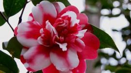 Camellia Japonica Wallpaper