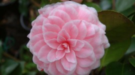 Camellia Japonica Wallpaper Download Free