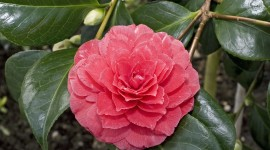 Camellia Japonica Wallpaper For Desktop