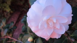 Camellia Japonica Wallpaper Full HD
