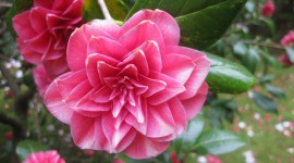 Camellia Japonica Wallpaper Gallery