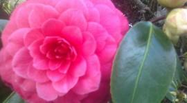 Camellia Japonica Wallpaper HQ