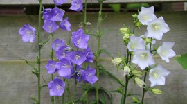 Campanula Persicifolia Photo Free