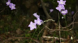 Campanula Persicifolia Wallpaper Full HD