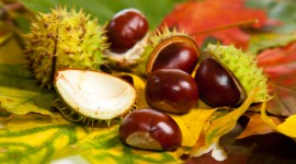 Chestnuts Desktop Wallpaper For PC