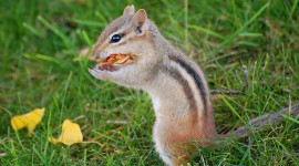 Chipmunk Best Wallpaper