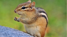 Chipmunk Wallpaper Download