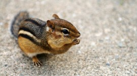 Chipmunk Wallpaper Download Free