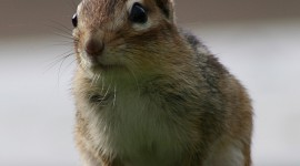 Chipmunk Wallpaper For IPhone