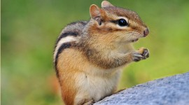 Chipmunk Wallpaper Free