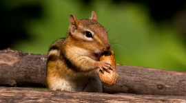 Chipmunk Wallpaper Full HD