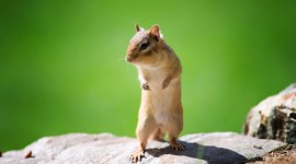 Chipmunks Photo