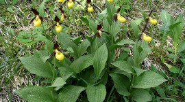 Cypripedium Calceolus Photo#1