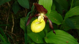 Cypripedium Calceolus Pics
