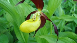 Cypripedium Calceolus Wallpaper For PC