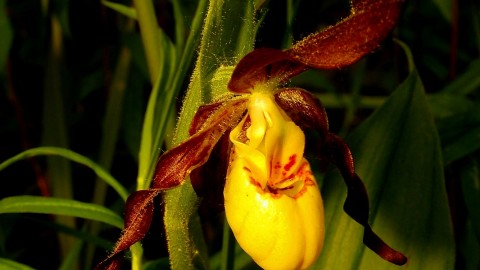 Cypripedium Calceolus wallpapers high quality