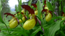Cypripedium Calceolus Wallpaper#1