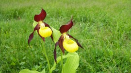 Cypripedium Calceolus Wallpaper#4