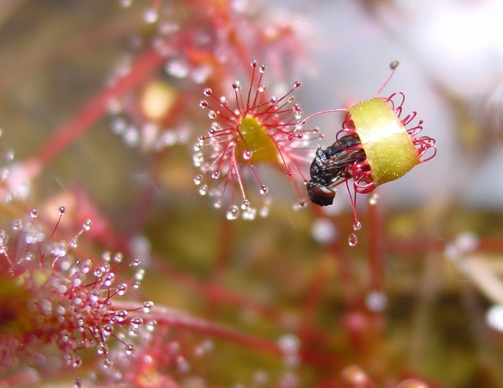 Drosera wallpapers HD