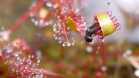 Drosera wallpapers high quality
