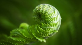 Fern Macro Wallpaper Download
