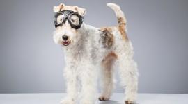Fox Terrier Best Wallpaper
