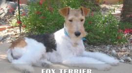 Fox Terrier Desktop Wallpaper HD