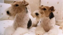 Fox Terrier Photo Download
