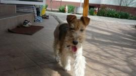 Fox Terrier Photo#1