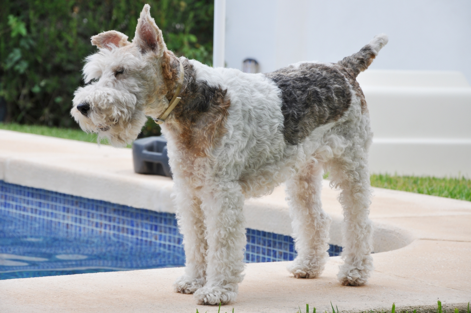 Fox Terrier Wallpapers High Quality | Download Free