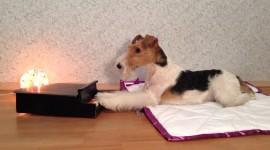 Fox Terrier Wallpaper 1080p